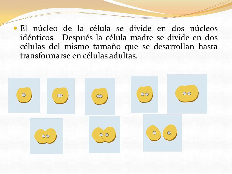 El núcleo de la célula se divide en dos núcleos idénticos.