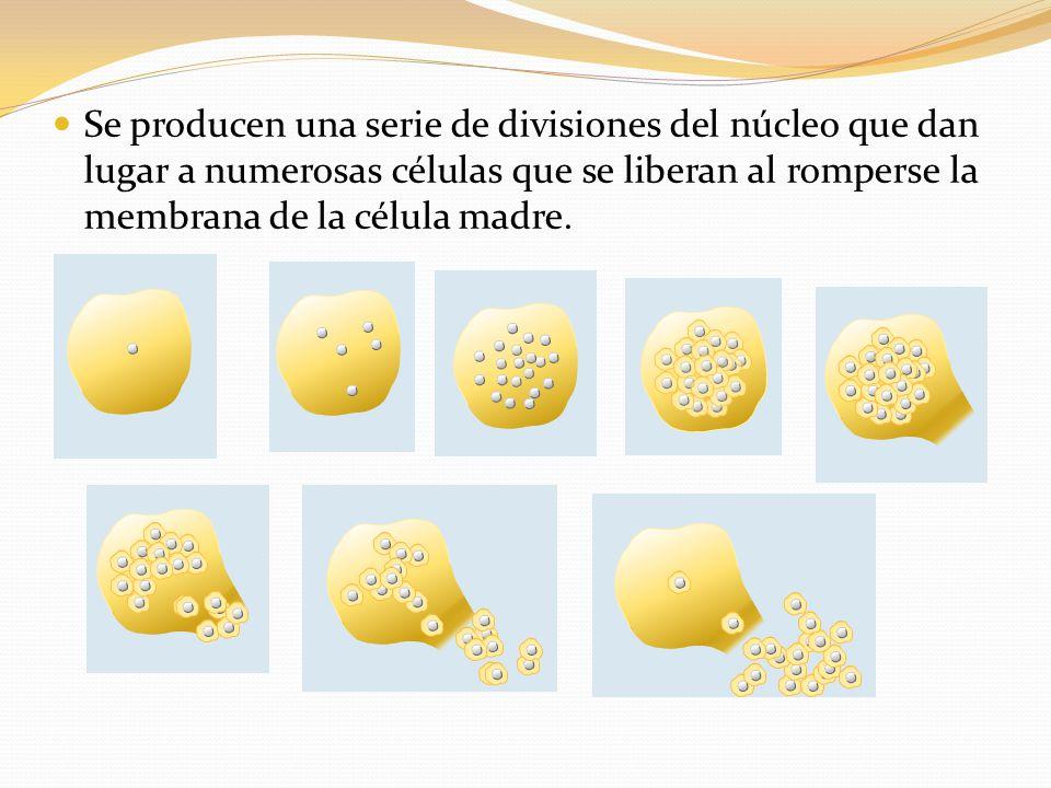 Se producen una serie de divisiones del núcleo que dan lugar a numerosas células que se liberan al romperse la membrana de la célula madre.
