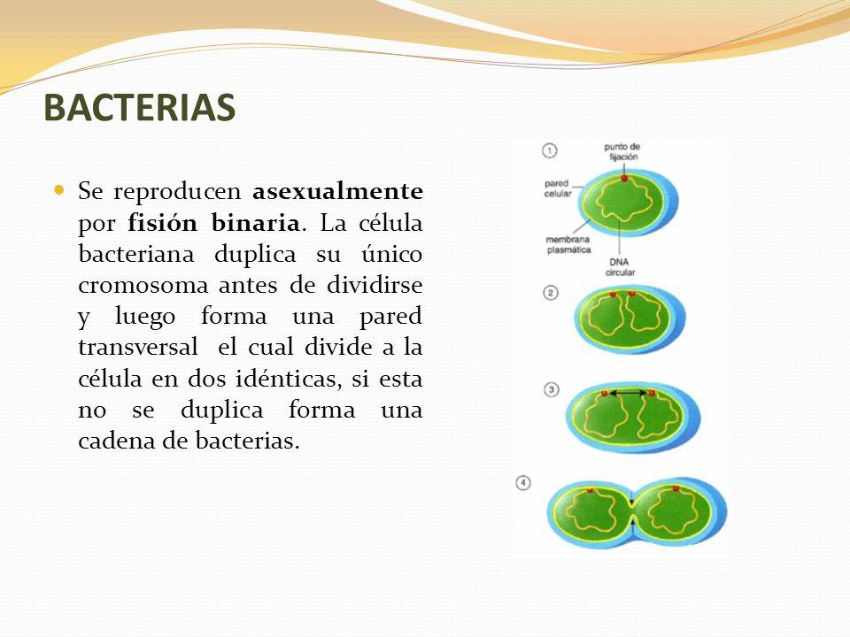 BACTERIAS Se reproducen asexualmente por fisión binaria.