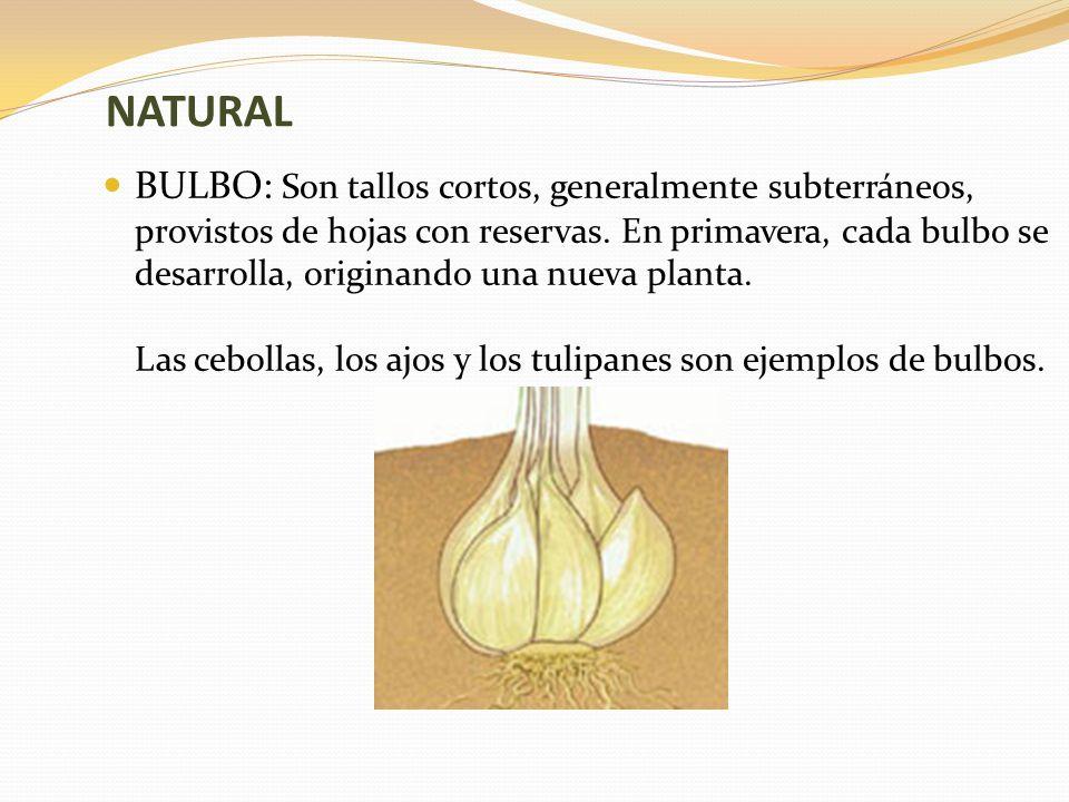 NATURAL BULBO: Son tallos cortos, generalmente subterráneos, provistos de hojas con reservas.