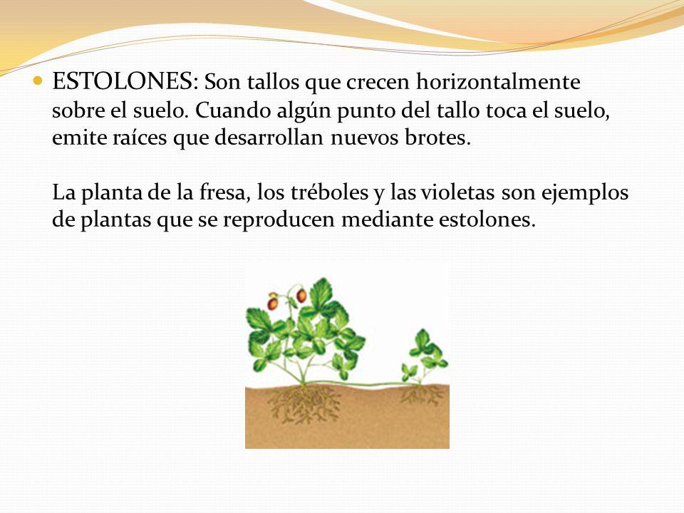 ESTOLONES: Son tallos que crecen horizontalmente sobre el suelo.