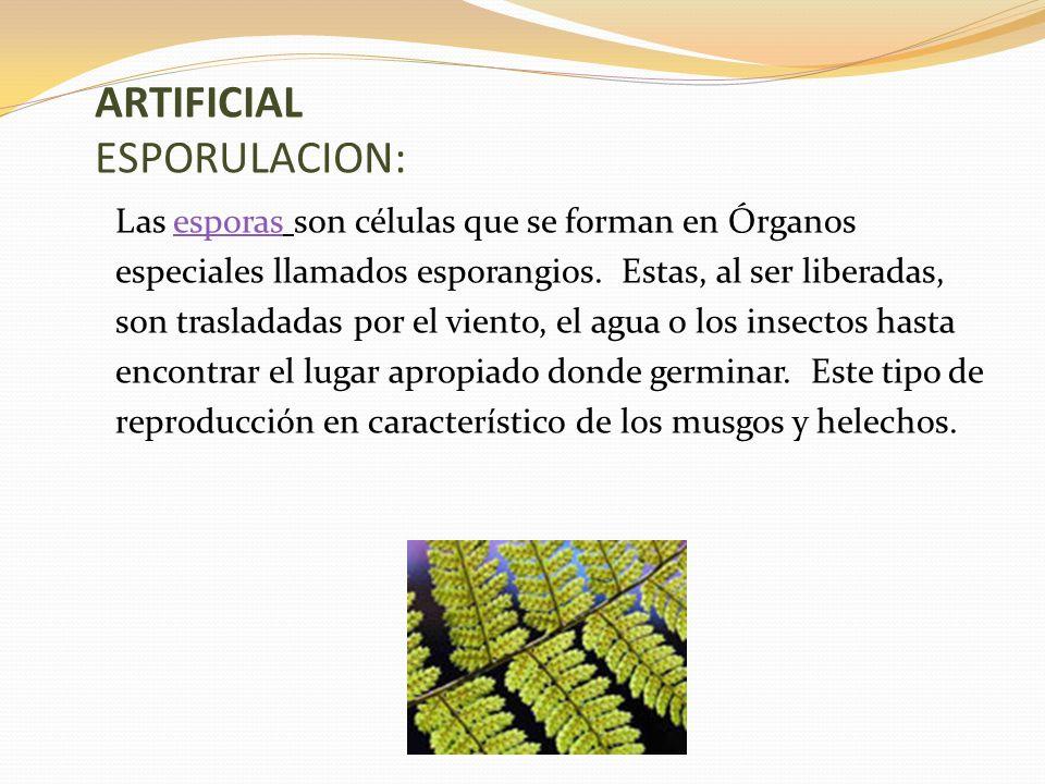 ARTIFICIAL ESPORULACION: Las esporas son células que se forman en Órganosesporas especiales llamados esporangios.