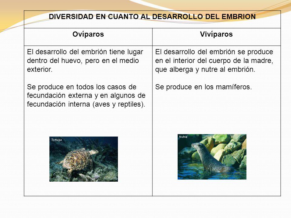 DIVERSIDAD EN CUANTO AL DESARROLLO DEL EMBRION OvíparosVivíparos El desarrollo del embrión tiene lugar dentro del huevo, pero en el medio exterior.