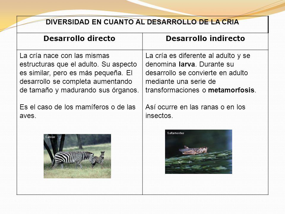 DIVERSIDAD EN CUANTO AL DESARROLLO DE LA CRIA Desarrollo directoDesarrollo indirecto La cría nace con las mismas estructuras que el adulto.