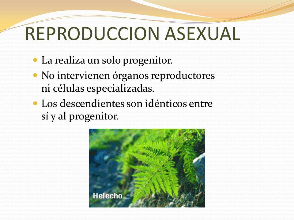 REPRODUCCION ASEXUAL La realiza un solo progenitor.