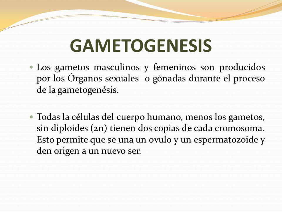 GAMETOGENESIS Los gametos masculinos y femeninos son producidos por los Órganos sexuales o gónadas durante el proceso de la gametogenésis.