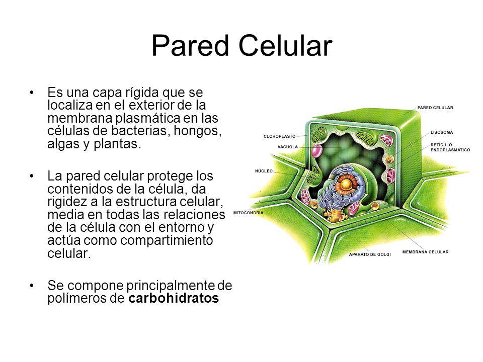 la pared celular en bacterias: