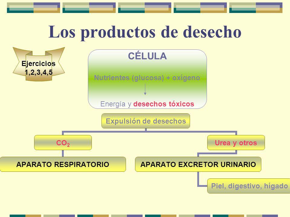 Los productos de desecho CÉLULA Nutrientes (glucosa) + oxígeno Energía y desechos tóxicos Expulsión de desechos CO2 APARATO RESPIRATORIO Urea y otros APARATO EXCRETOR URINARIO Piel, digestivo, hígado Ejercicios 1,2,3,4,5