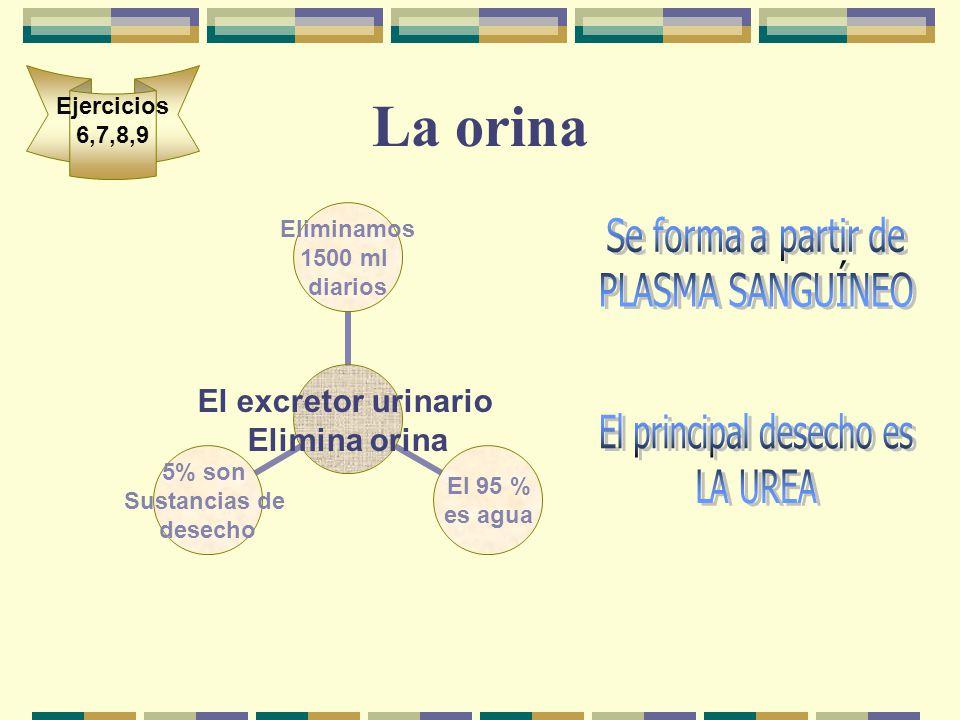 La orina El excretor urinario Elimina orina Eliminamos 1500 ml diarios El 95 % es agua 5% son Sustancias de desecho Ejercicios 6,7,8,9