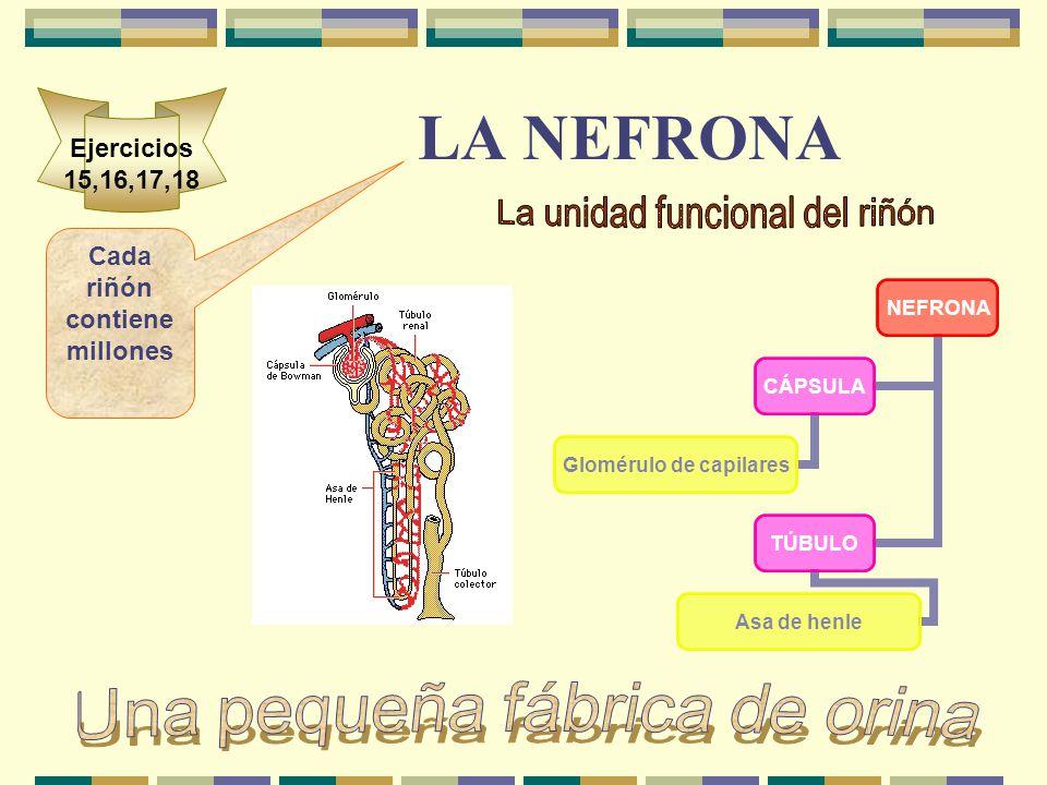 LA NEFRONA NEFRONA CÁPSULA Glomérulo de capilares TÚBULO Asa de henle Cada riñón contiene millones Ejercicios 15,16,17,18