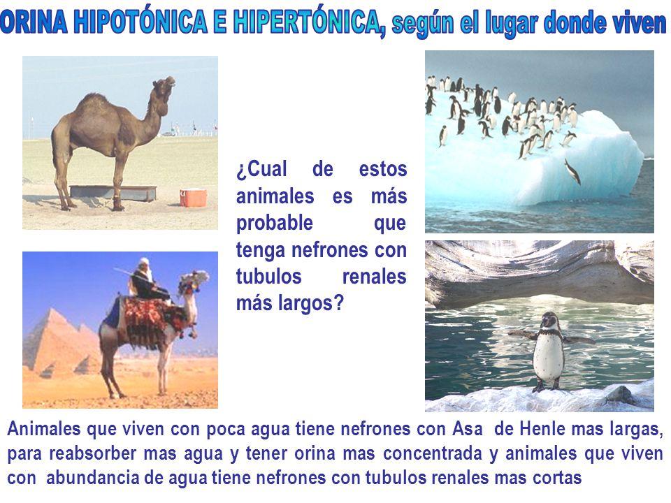 ¿Cual de estos animales es más probable que tenga nefrones con tubulos renales más largos.