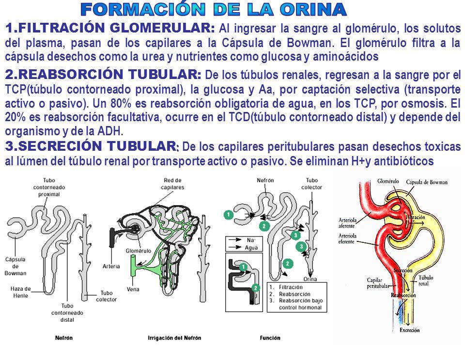 1.FILTRACIÓN GLOMERULAR: Al ingresar la sangre al glomérulo, los solutos del plasma, pasan de los capilares a la Cápsula de Bowman.