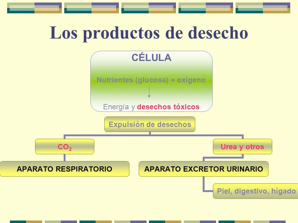 Los productos de desecho CÉLULA Nutrientes (glucosa) + oxígeno Energía y desechos tóxicos Expulsión de desechos CO2 APARATO RESPIRATORIO Urea y otros APARATO EXCRETOR URINARIO Piel, digestivo, hígado
