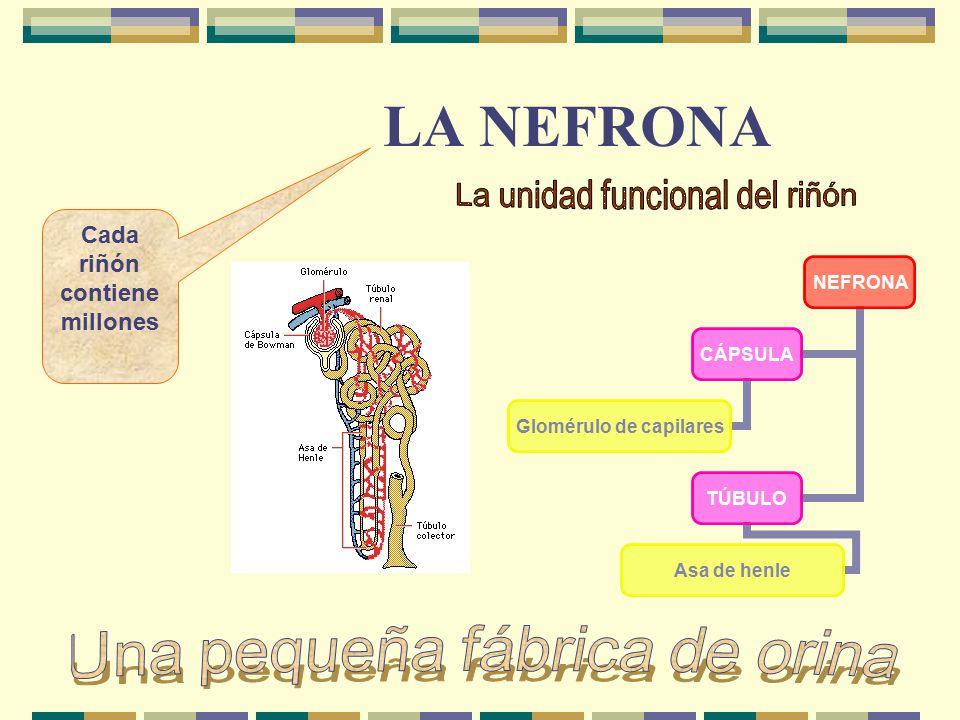 LA NEFRONA NEFRONA CÁPSULA Glomérulo de capilares TÚBULO Asa de henle Cada riñón contiene millones