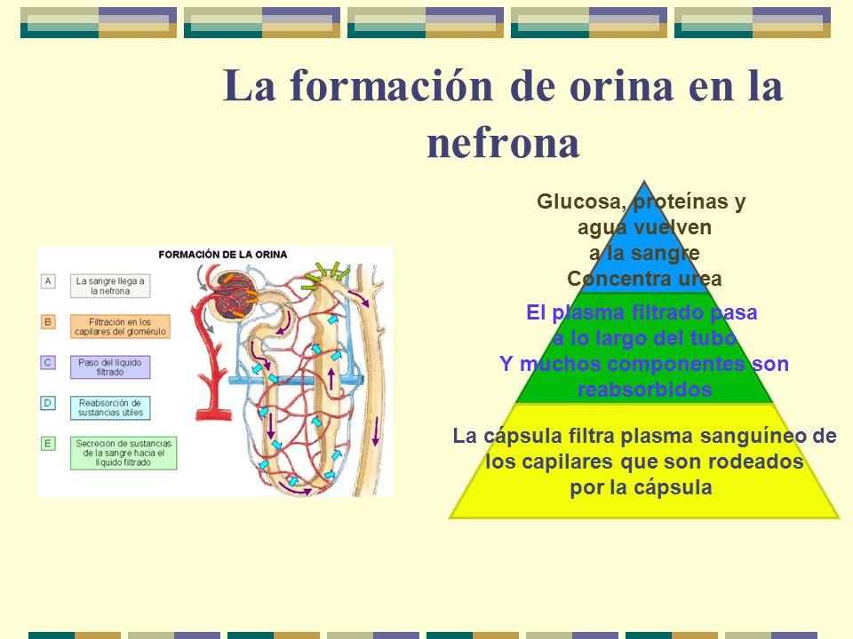 La formación de orina en la nefrona Glucosa, proteínas y agua vuelven a la sangre Concentra urea El plasma filtrado pasa a lo largo del tubo Y muchos componentes son reabsorbidos La cápsula filtra plasma sanguíneo de los capilares que son rodeados por la cápsula