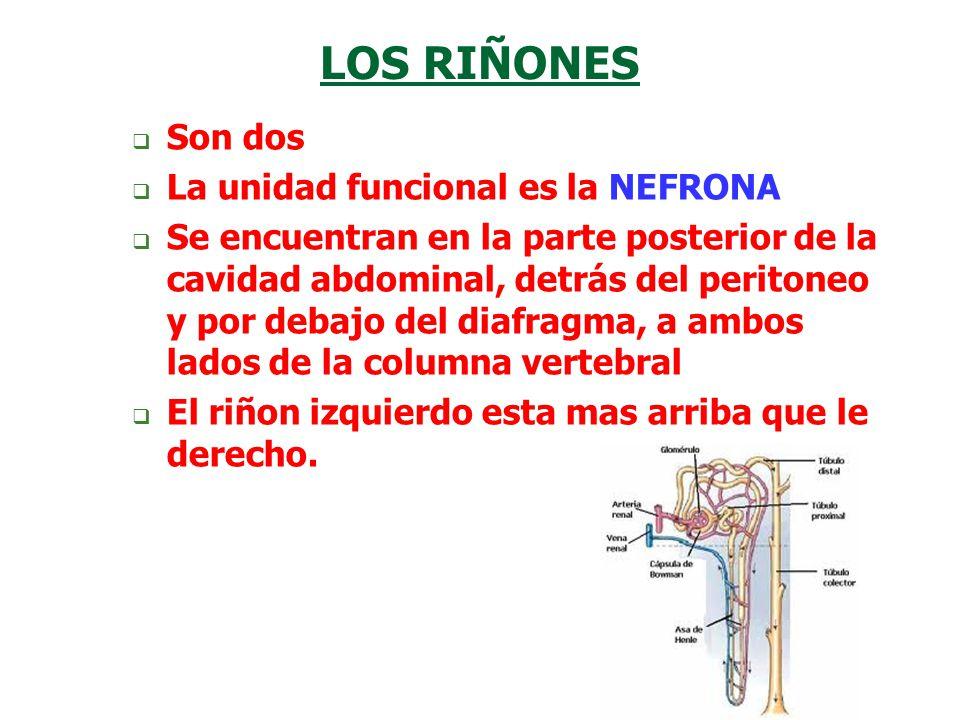LOS RIÑONES  Son dos  La unidad funcional es la NEFRONA  Se encuentran en la parte posterior de la cavidad abdominal, detrás del peritoneo y por de