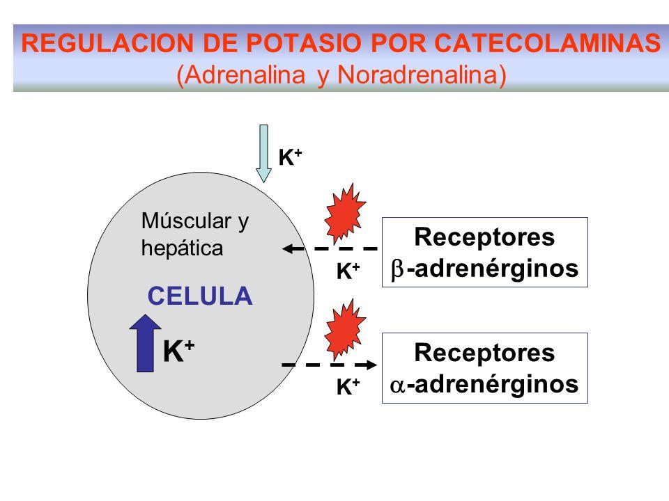 REGULACION DE POTASIO POR CATECOLAMINAS (Adrenalina y Noradrenalina) CELULA K+K+ K+K+ Receptores  -adrenérginos K+K+ Múscular y hepática Receptores 