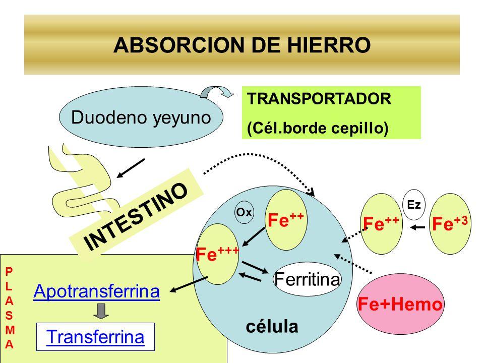 ABSORCION DE HIERRO INTESTINO Duodeno yeyuno TRANSPORTADOR (Cél.borde cepillo) célula Fe ++ Fe+Hemo Fe ++ Fe +++ Ferritina Ox Apotransferrina Transfer