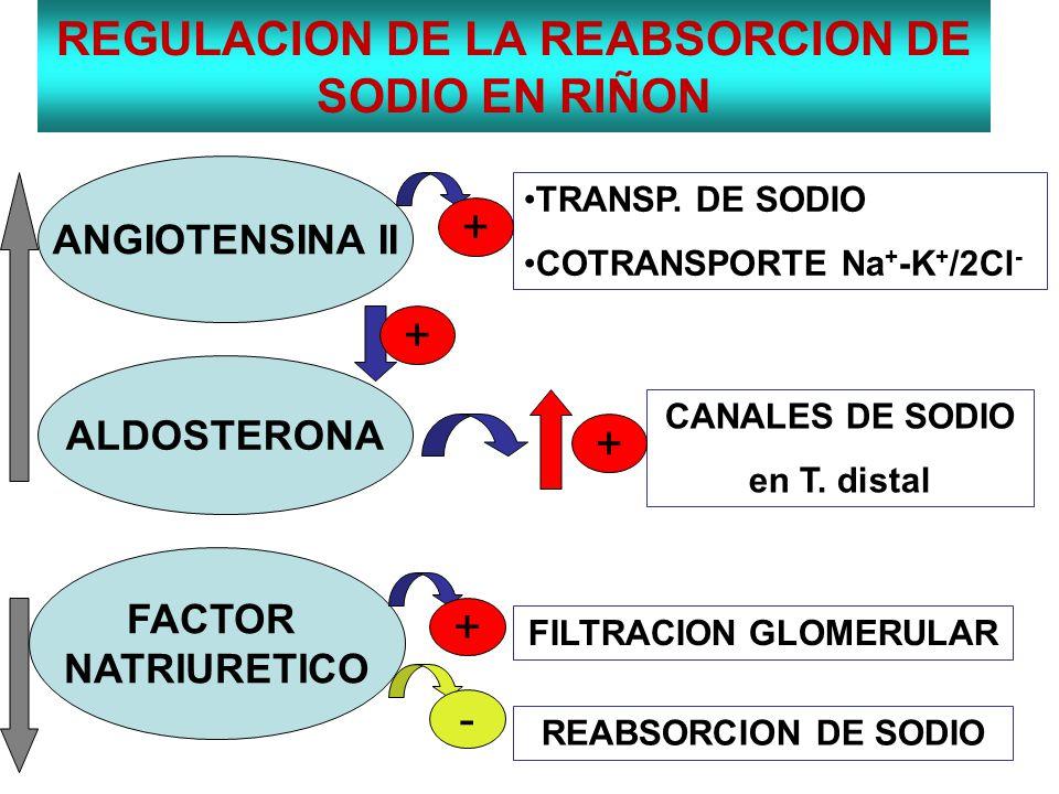 REGULACION DE LA REABSORCION DE SODIO EN RIÑON ANGIOTENSINA II ALDOSTERONA FACTOR NATRIURETICO TRANSP. DE SODIO COTRANSPORTE Na + -K + /2Cl - + + CANA