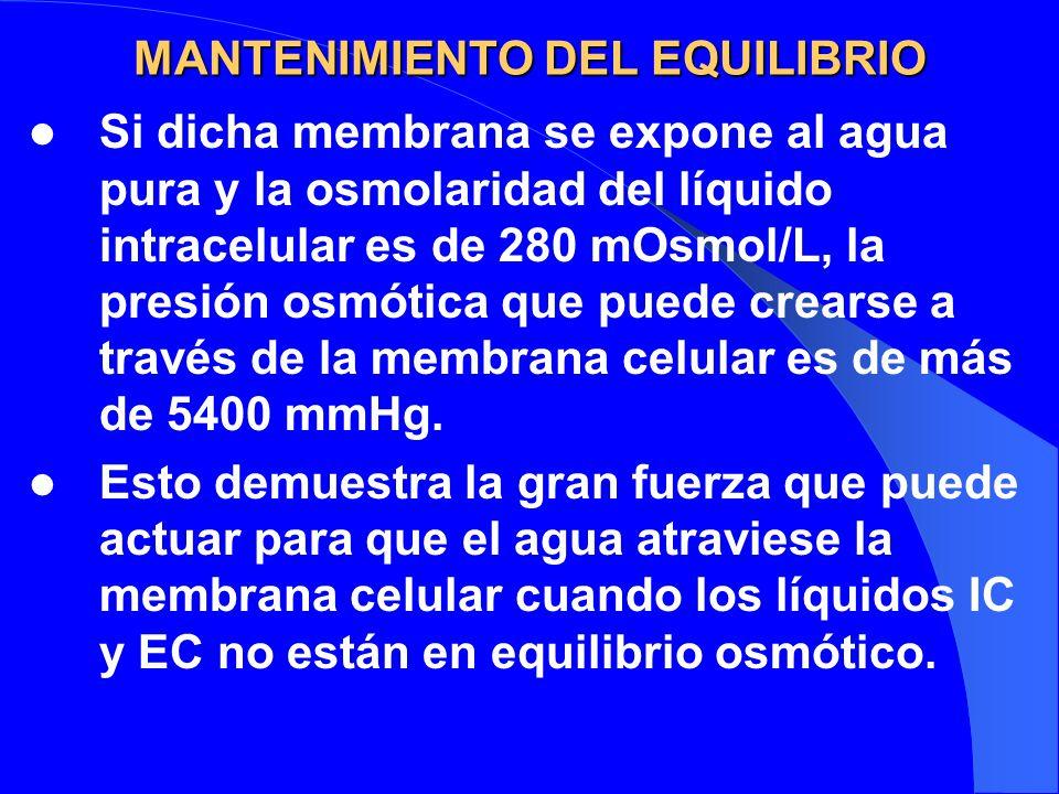 MANTENIMIENTO DEL EQUILIBRIO Si dicha membrana se expone al agua pura y la osmolaridad del líquido intracelular es de 280 mOsmol/L, la presión osmótic