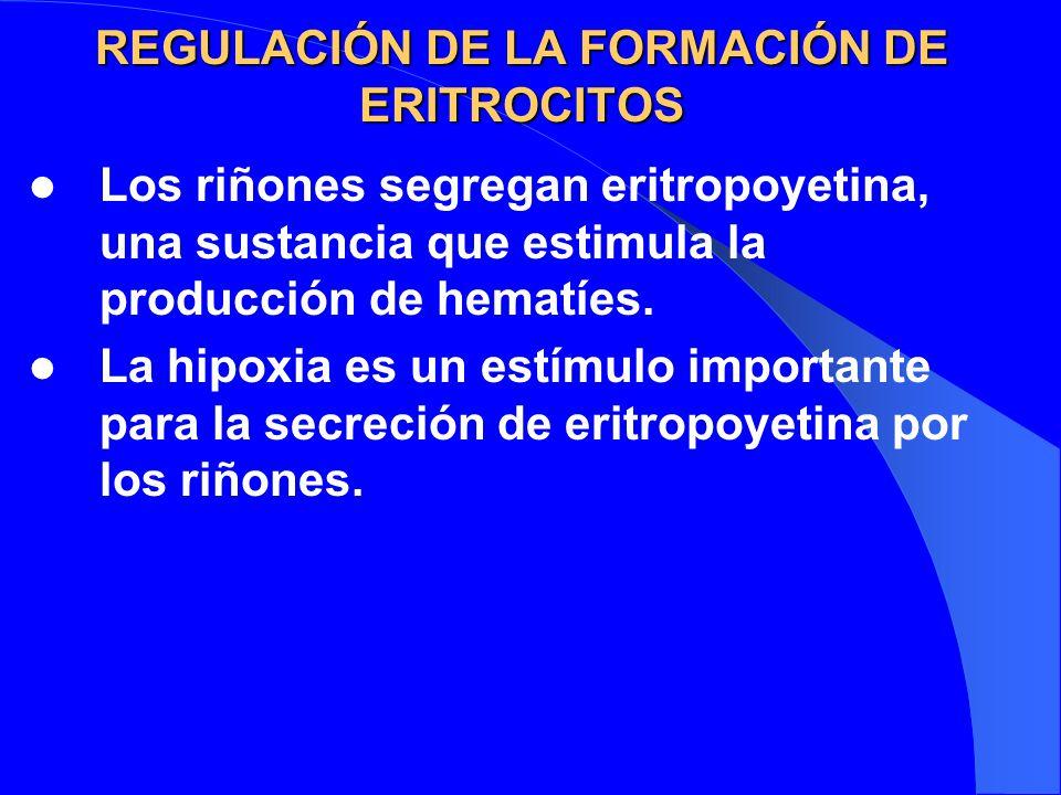 REGULACIÓN DE LA FORMACIÓN DE ERITROCITOS Los riñones segregan eritropoyetina, una sustancia que estimula la producción de hematíes. La hipoxia es un