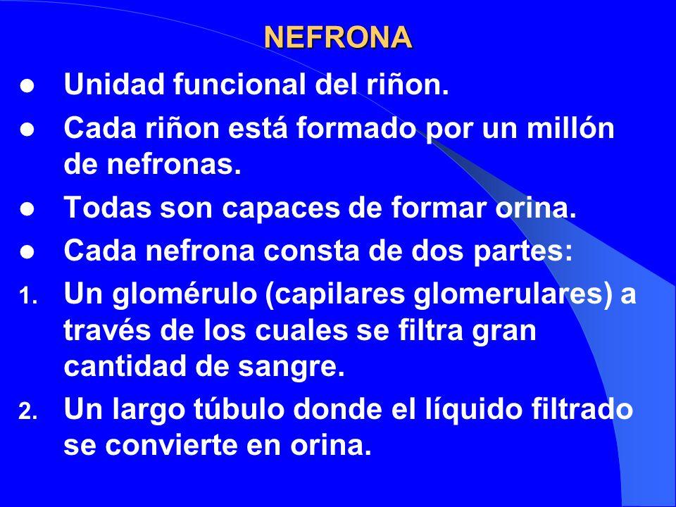 NEFRONA Unidad funcional del riñon. Cada riñon está formado por un millón de nefronas. Todas son capaces de formar orina. Cada nefrona consta de dos p