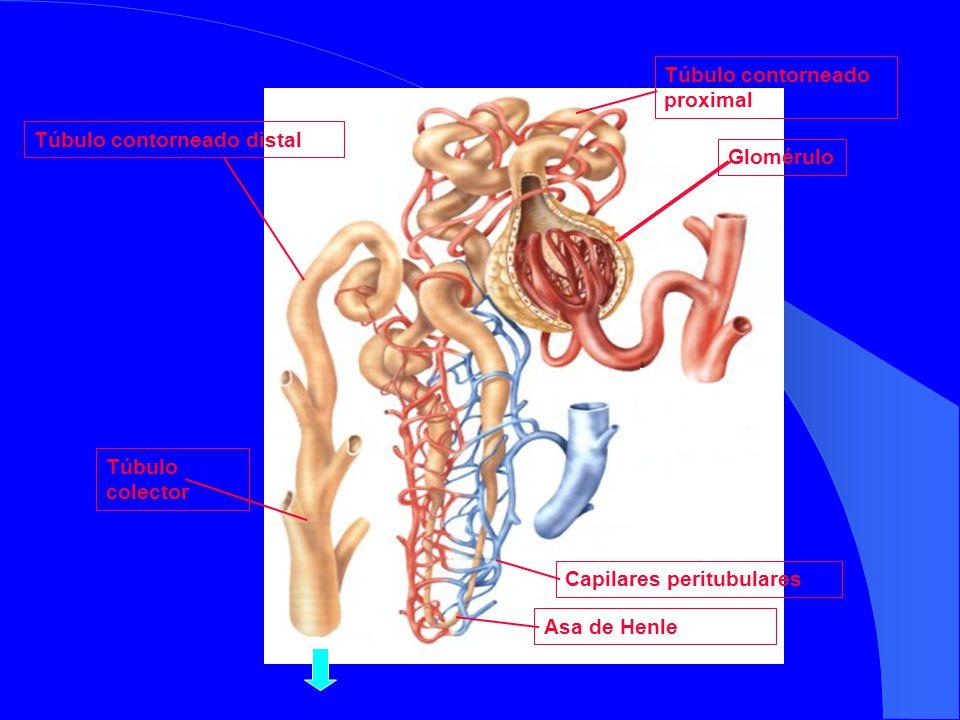 GloméruloTúbulo contorneado proximal Asa de HenleTúbulo contorneado distalTúbulo colector Capilares peritubulares