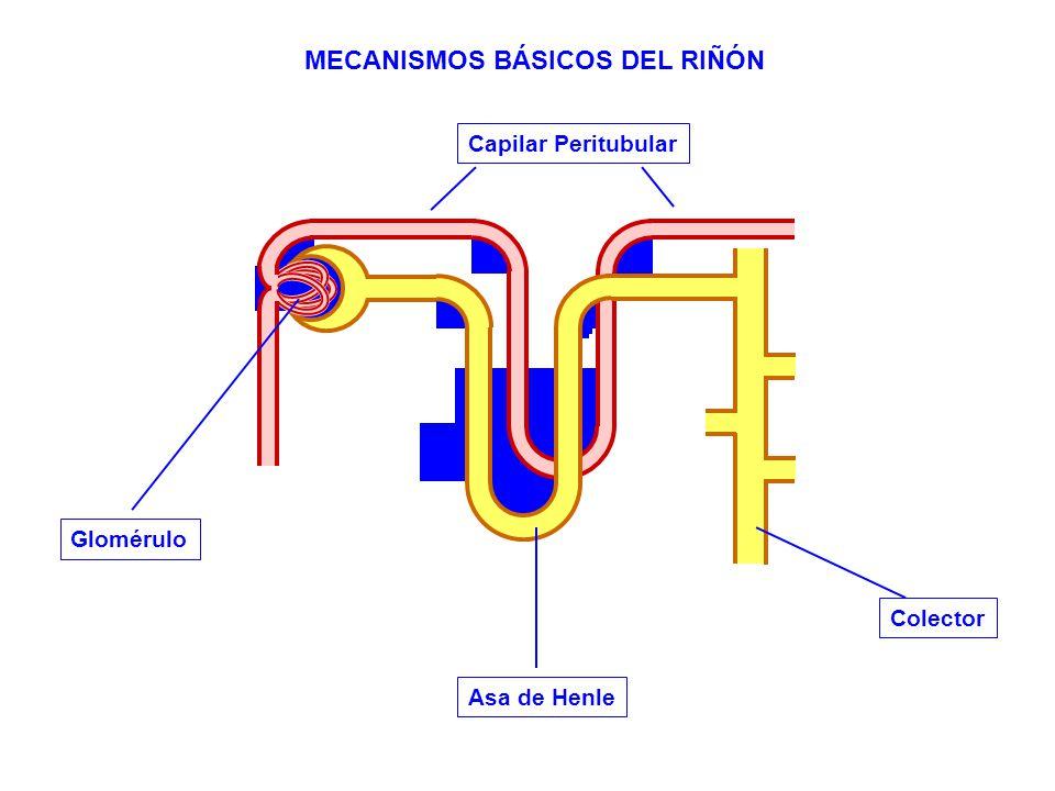 Glomérulo MECANISMOS BÁSICOS DEL RIÑÓN Asa de Henle Colector Capilar Peritubular