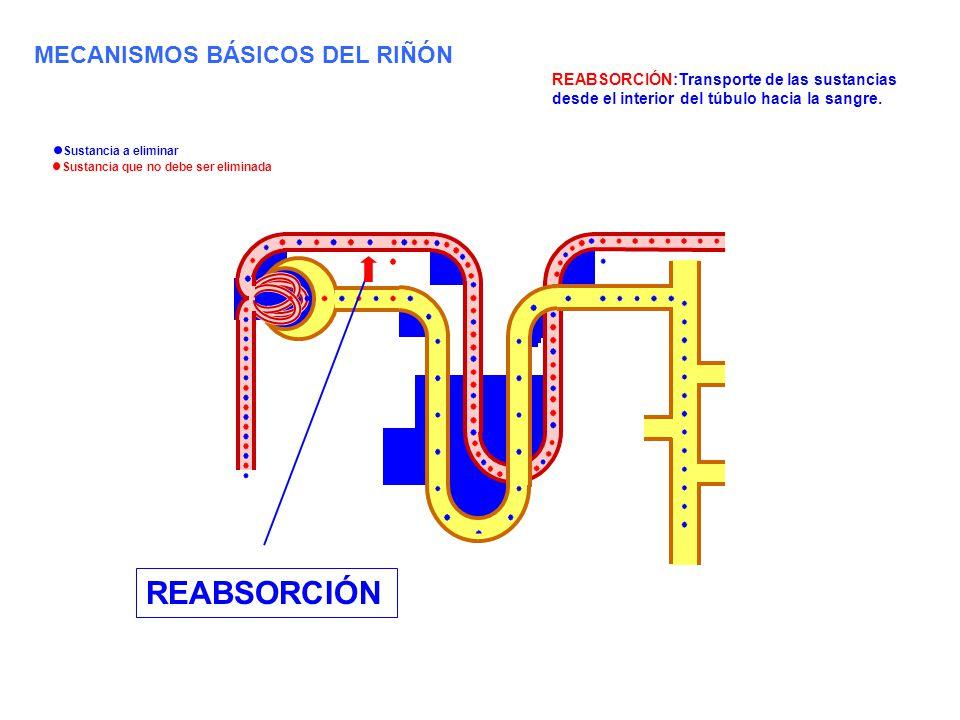REABSORCIÓN REABSORCIÓN:Transporte de las sustancias desde el interior del túbulo hacia la sangre. MECANISMOS BÁSICOS DEL RIÑÓN Sustancia a eliminar S