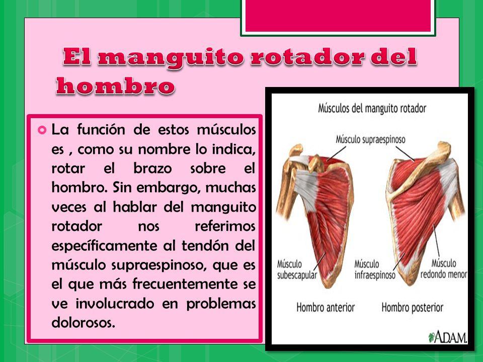 Excepcional Anatomía Del Manguito De Los Rotadores Del Hombro ...