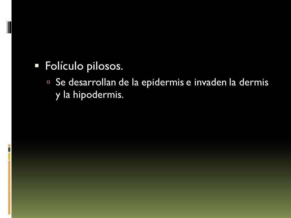  Folículo pilosos.  Se desarrollan de la epidermis e invaden la dermis y la hipodermis.