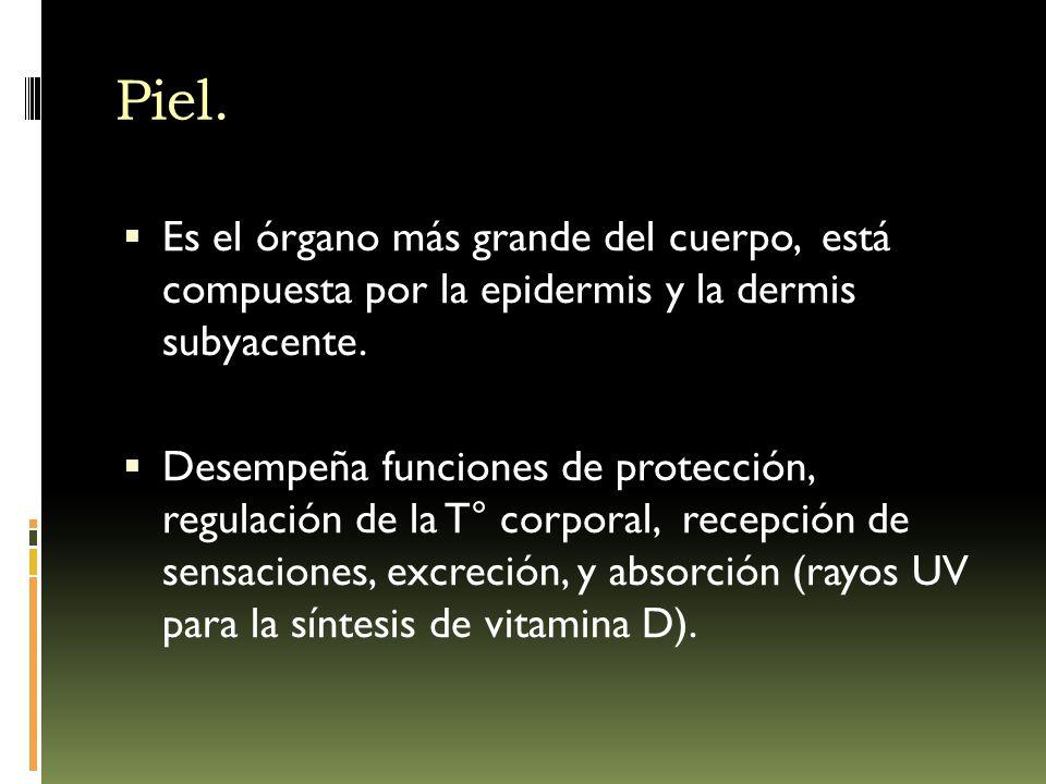  Derivada de las dos capas germinativas:  Ectodermo.  Epidermis.  Mesodermo.  Dermis.