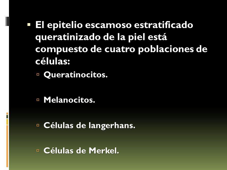  El epitelio escamoso estratificado queratinizado de la piel está compuesto de cuatro poblaciones de células:  Queratinocitos.