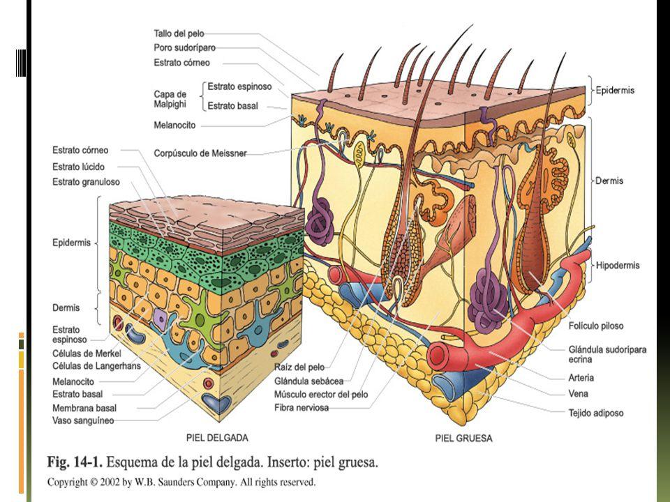 Uñas.  Representan células epiteliales queratinizadas dispuestas en placas de queratina dura.