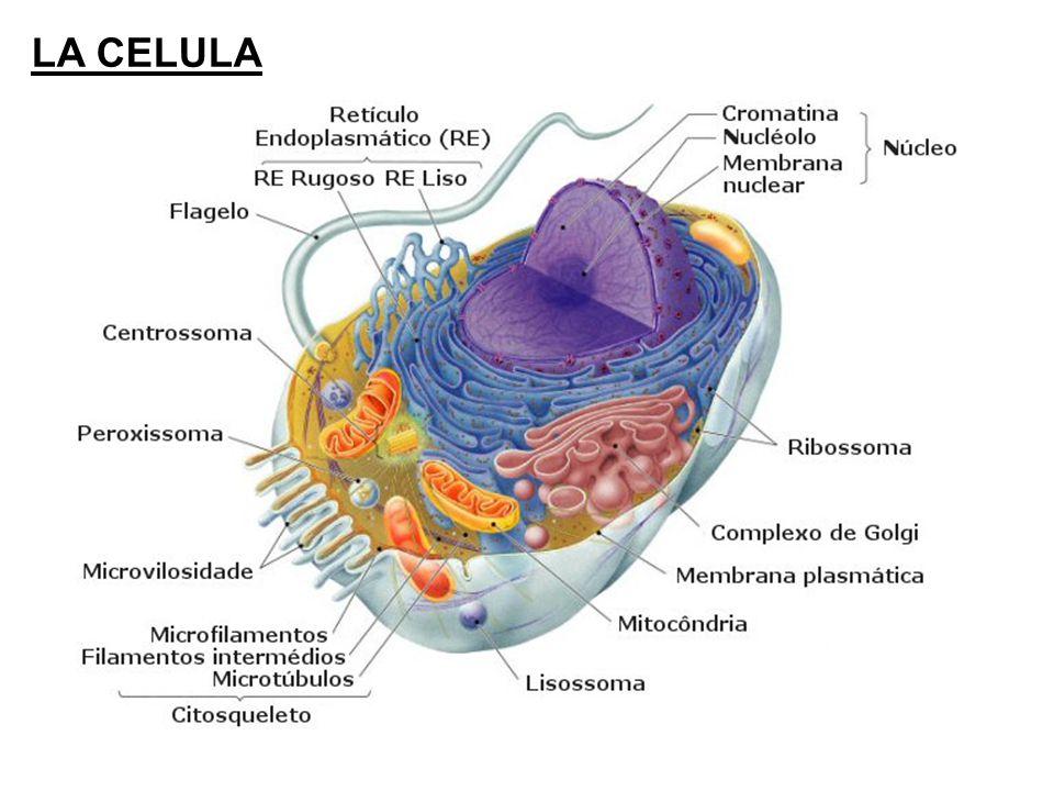 Resultado de imagen de La principal función de las mitocondrias es generar energía para mantener la actividad celular
