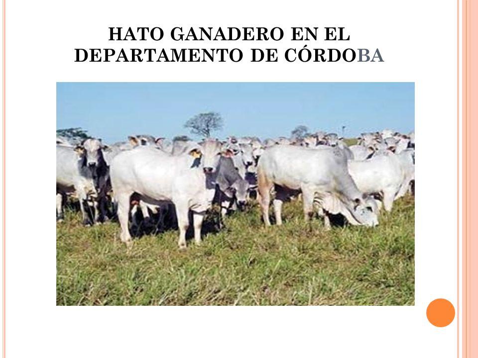HATO GANADERO EN EL DEPARTAMENTO DE CÓRDOBA