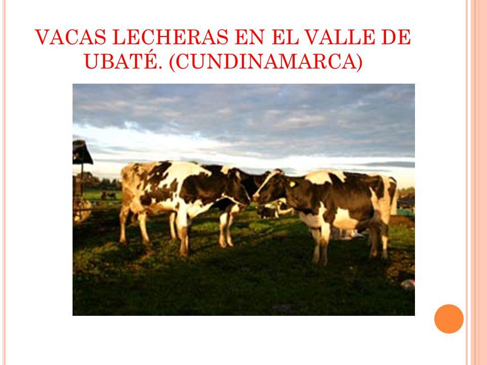VACAS LECHERAS EN EL VALLE DE UBATÉ. (CUNDINAMARCA)