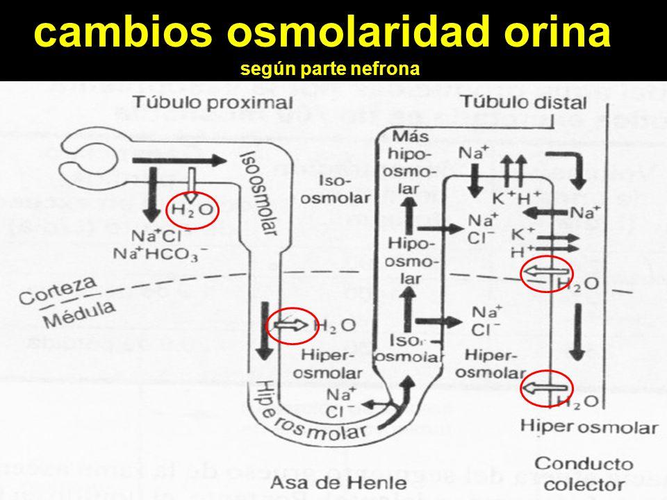 cambios osmolaridad orina según parte nefrona