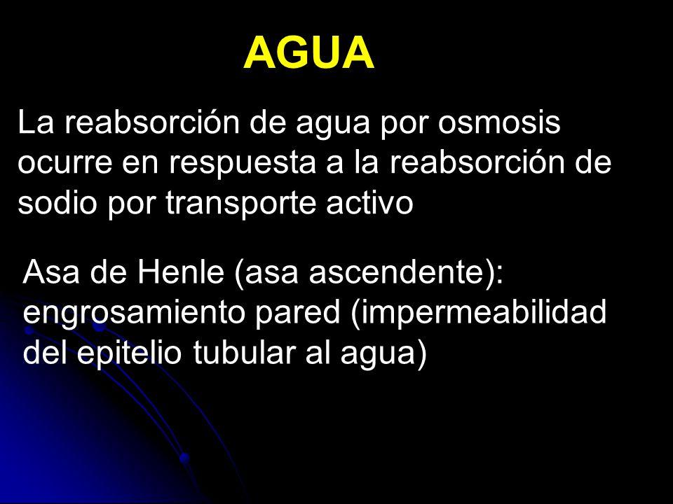 Asa de Henle (asa ascendente): engrosamiento pared (impermeabilidad del epitelio tubular al agua) AGUA La reabsorción de agua por osmosis ocurre en respuesta a la reabsorción de sodio por transporte activo