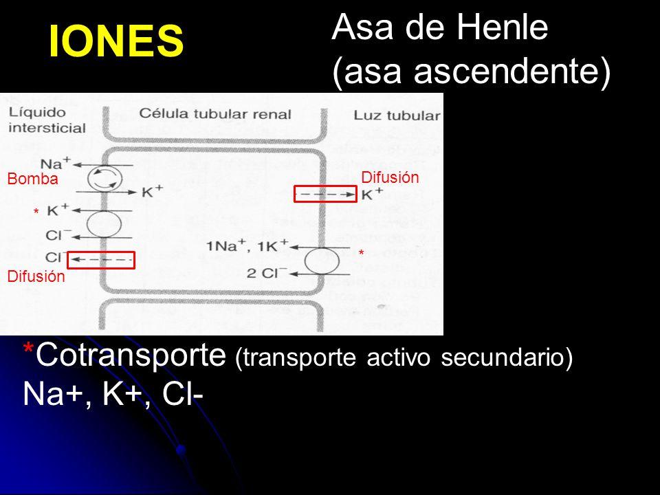 IONES *Cotransporte (transporte activo secundario) Na+, K+, Cl- Bomba Difusión * * Asa de Henle (asa ascendente)