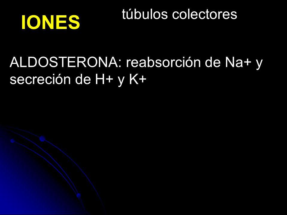 IONES ALDOSTERONA: reabsorción de Na+ y secreción de H+ y K+ túbulos colectores
