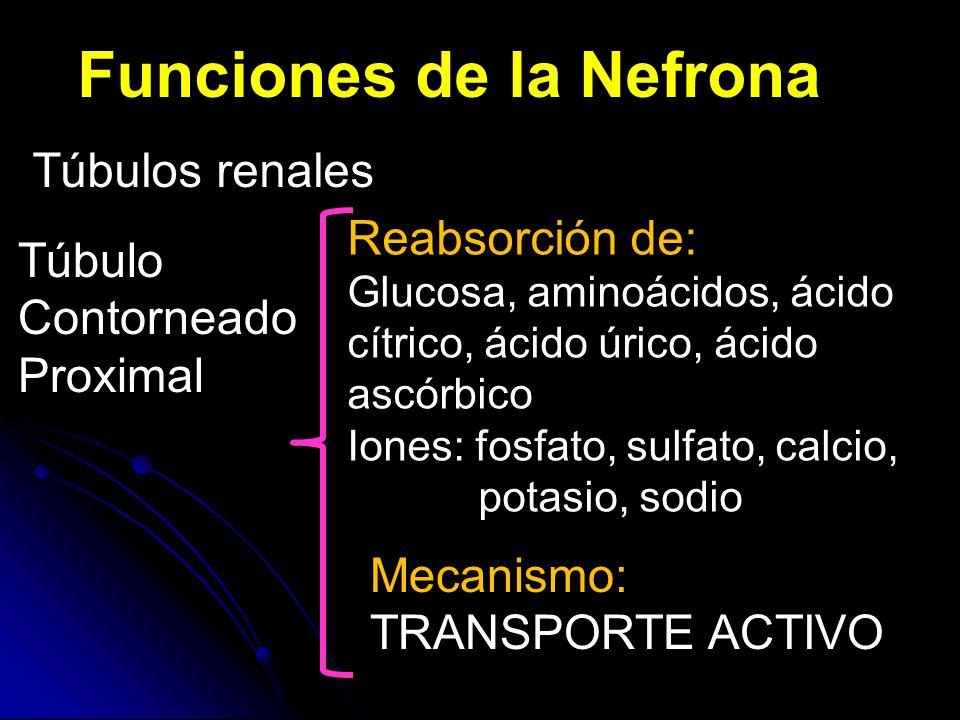 Funciones de la Nefrona Túbulos renales Túbulo Contorneado Proximal Reabsorción de: Glucosa, aminoácidos, ácido cítrico, ácido úrico, ácido ascórbico Iones: fosfato, sulfato, calcio, potasio, sodio Mecanismo: TRANSPORTE ACTIVO