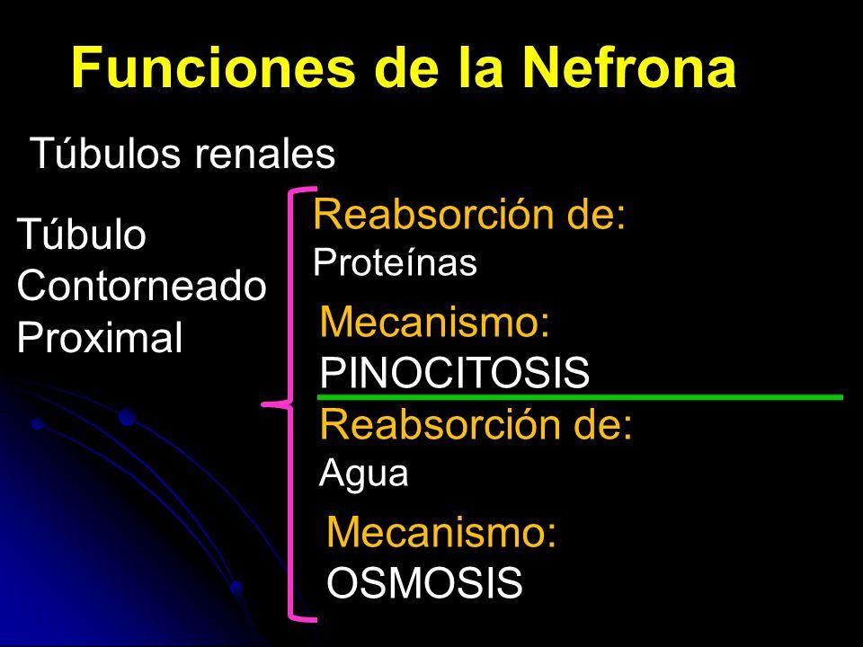 Funciones de la Nefrona Túbulos renales Túbulo Contorneado Proximal Reabsorción de: Proteínas Mecanismo: PINOCITOSIS Reabsorción de: Agua Mecanismo: OSMOSIS