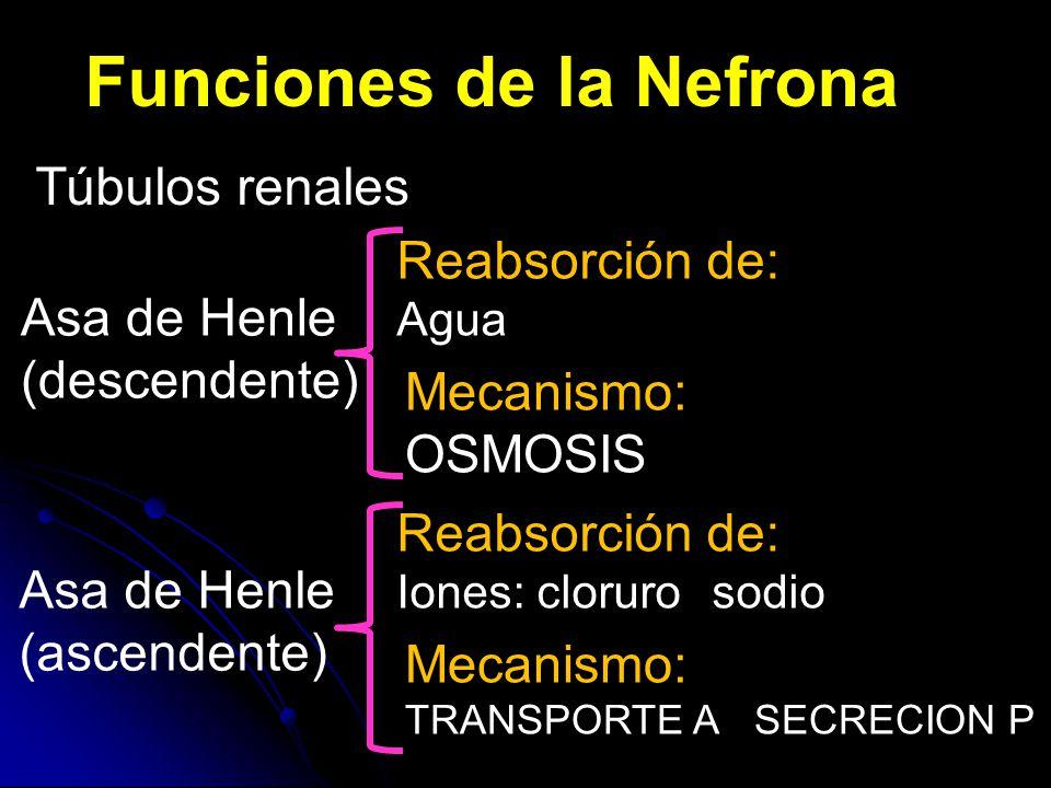 Funciones de la Nefrona Túbulos renales Asa de Henle (descendente) Reabsorción de: Agua Mecanismo: OSMOSIS Asa de Henle (ascendente) Reabsorción de: Iones: clorurosodio Mecanismo: TRANSPORTE A SECRECION P