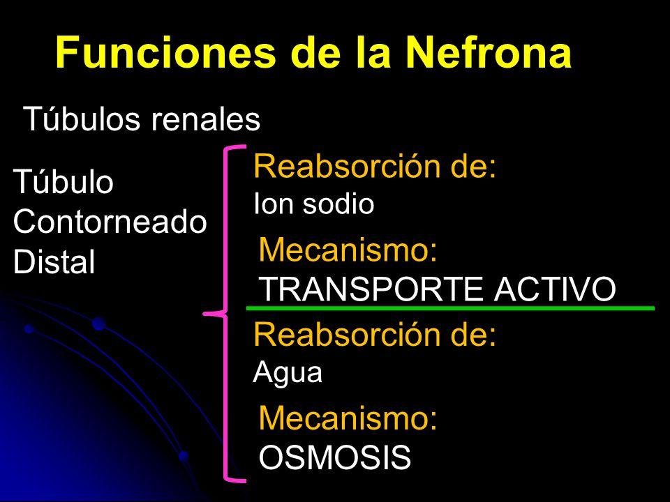 Reabsorción Na+: transporte activo Difusión iones -: transporte pasivo Atraídos por + Na ↑ [iones y solutos] ↑ presión osmótica Osmosis agua