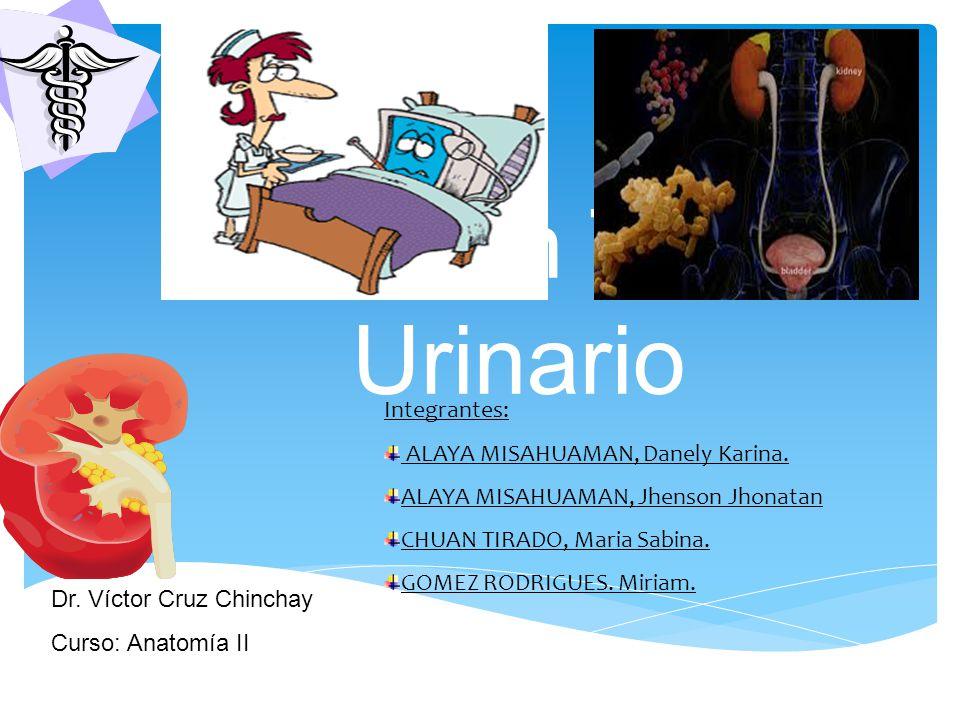 INTRODUCCIÓN Es una de las enfermedades más frecuentes, que consiste en la infección por algún agente patógeno (bacterias con mayor frecuencia), de cualquiera de los segmentos del aparato urinario: riñones, Uréteres, vejiga o uretra.