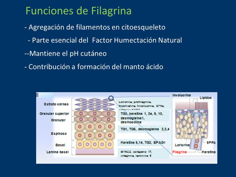 Funciones de Filagrina - Agregación de filamentos en citoesqueleto - Parte esencial del Factor Humectación Natural --Mantiene el pH cutáneo - Contribución a formación del manto ácido