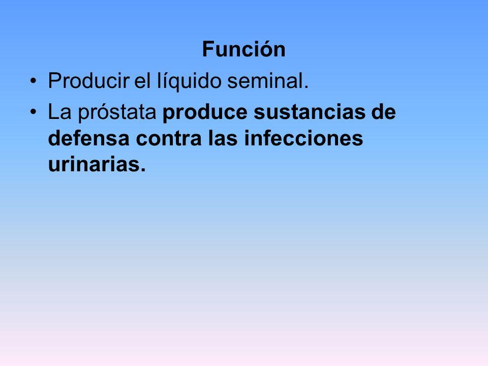 Función Producir el líquido seminal. La próstata produce sustancias de defensa contra las infecciones urinarias.