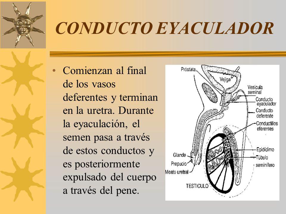 CONDUCTO EYACULADOR Comienzan al final de los vasos deferentes y terminan en la uretra. Durante la eyaculación, el semen pasa a través de estos conduc