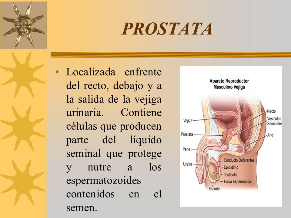 PROSTATA Localizada enfrente del recto, debajo y a la salida de la vejiga urinaria. Contiene células que producen parte del líquido seminal que proteg